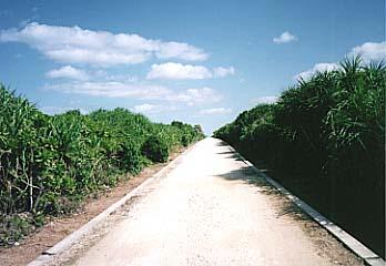 久高島のクバ林の中の一本道