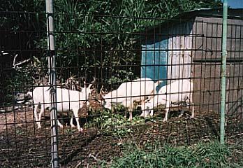 久高島で飼育されている山羊たち