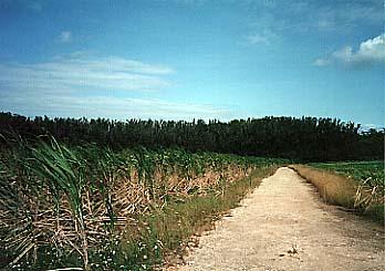 波照間島のさとうきび畑