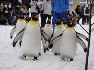 旭山動物園のペンギンの散歩