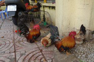 路上の鶏たち
